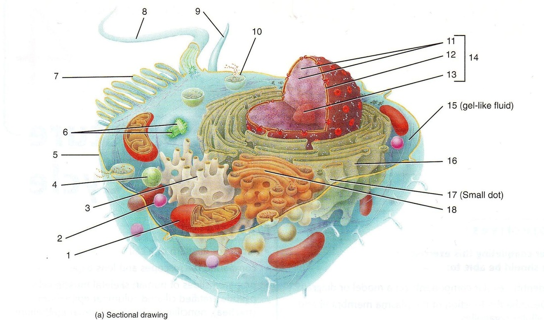 Eukaryotic cell diagram an introduction to the biology of cells picture ccuart Images